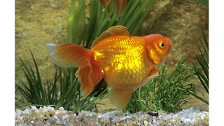 Maid of honour forced to look after 99 dead goldfish